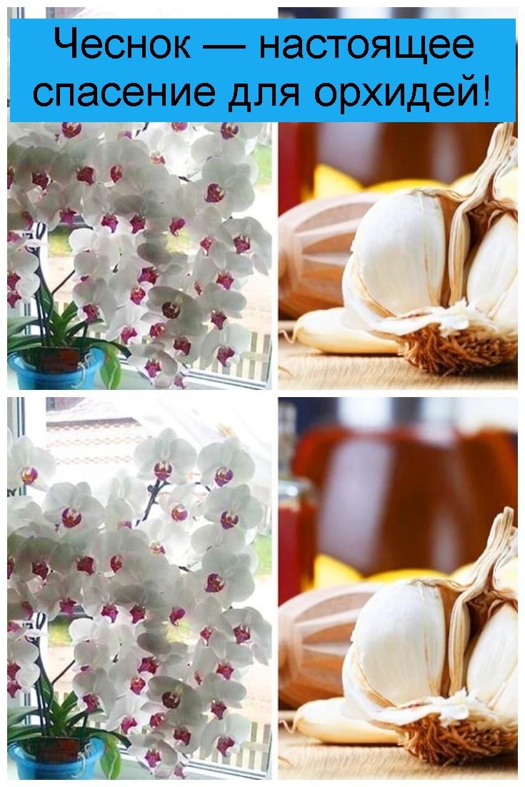 Чеснок — настоящее спасение для орхидей 4